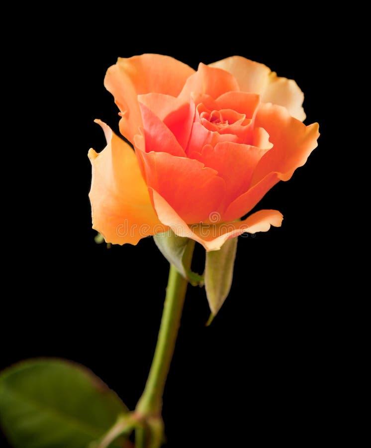 Download Orange rose stock image. Image of fresh, rose, water - 18806799