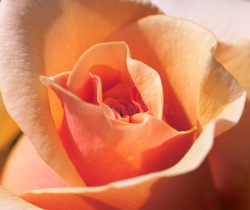 Download Orange rose stock image. Image of abstract, nature, natural - 213851