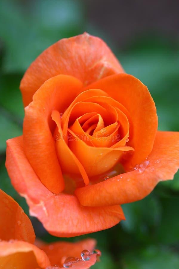 Free Orange Rose Royalty Free Stock Photography - 4464577
