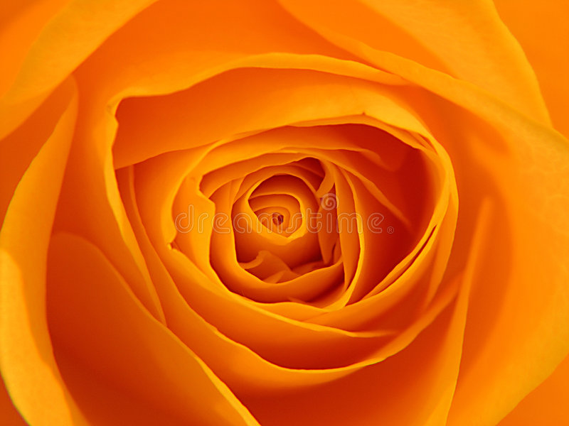 Orange Rose stockfotografie