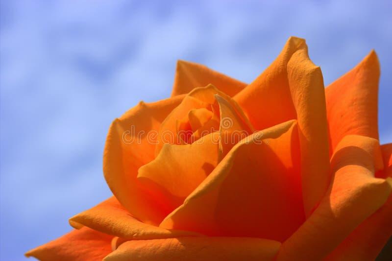 Orange Rose royalty free stock photography