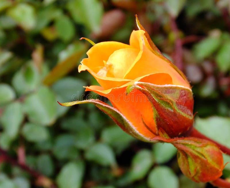 Orange Rose Free Public Domain Cc0 Image