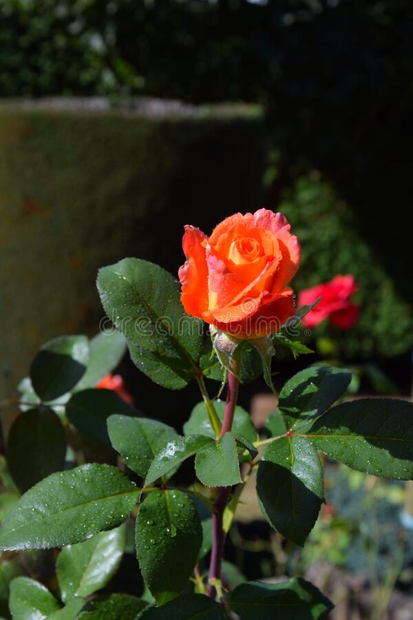 Orange Rose Blossoms with Water Drops on the Petals. Beautiful Garden stock image