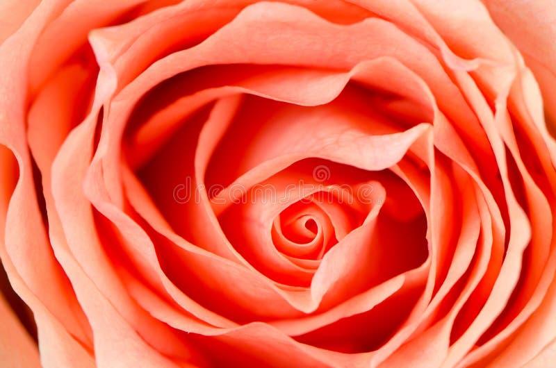 Orange Rose Flower Stock Images