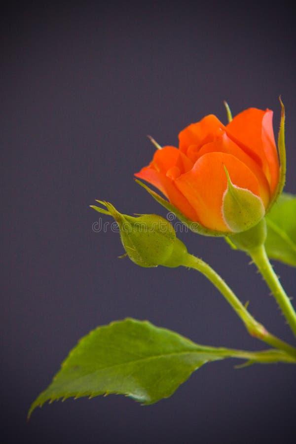 Download Orange Rose flower stock photo. Image of leaf, nature - 5958966