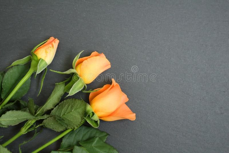 Orange rose flower on black slate background stock images