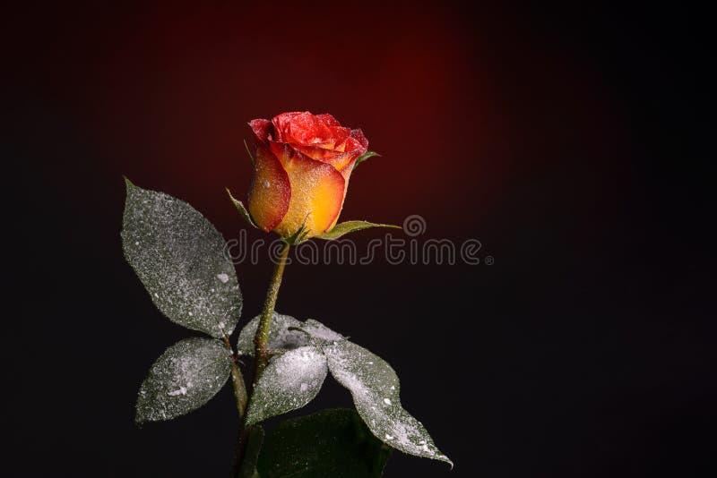 Orange Rose flower. With fake snow on dark background stock image