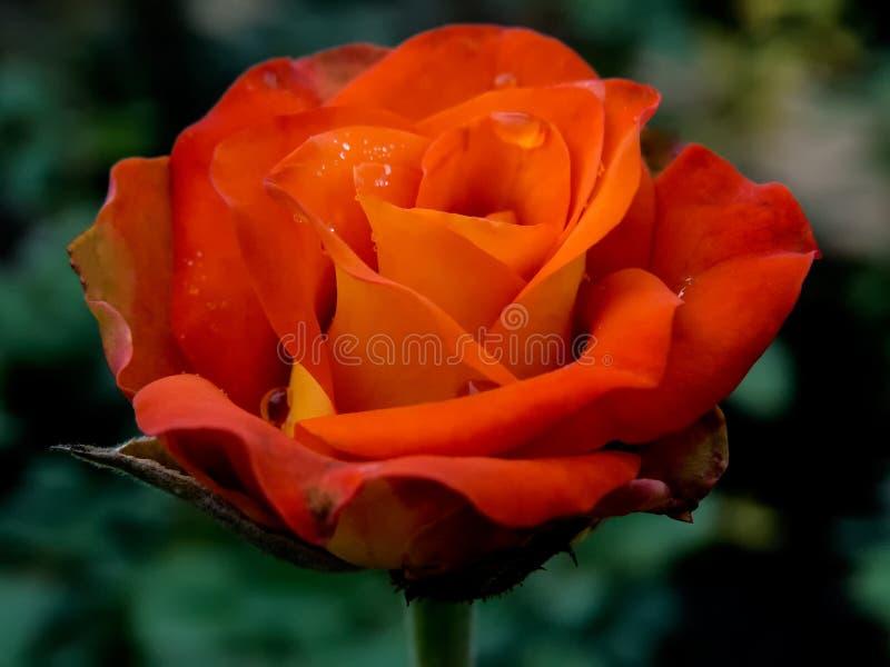 Orange Rose Flower mit Wasser-Tröpfchen lizenzfreie stockfotos