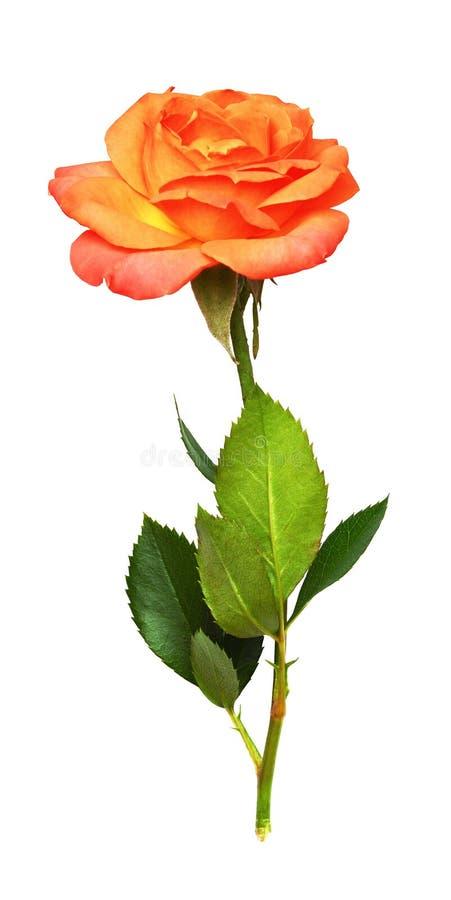 Orange rose flower. Isolated on white royalty free stock photography