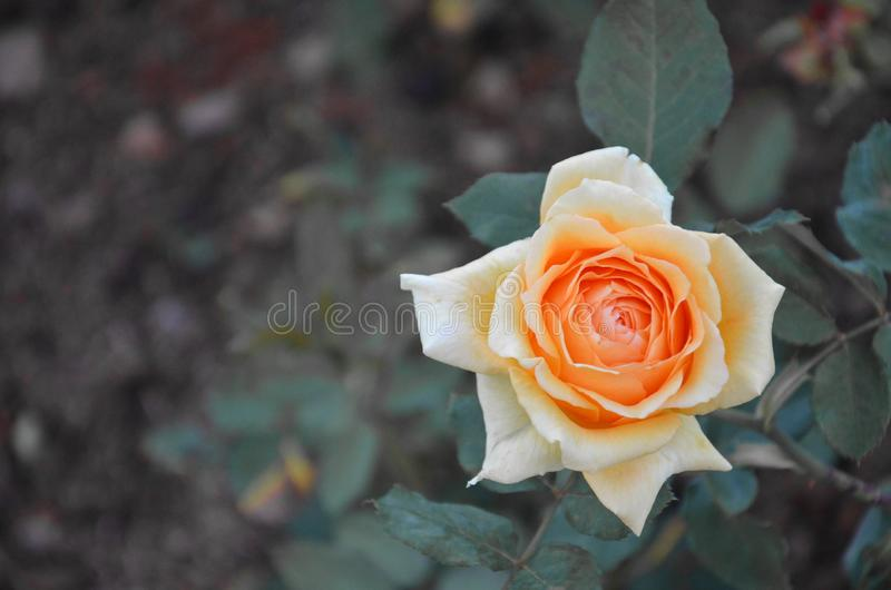 Orange Rose in the Garden royalty free stock photo