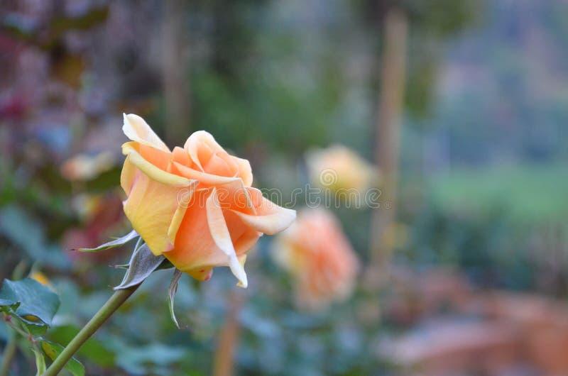 Orange Rose in the Garden stock photo
