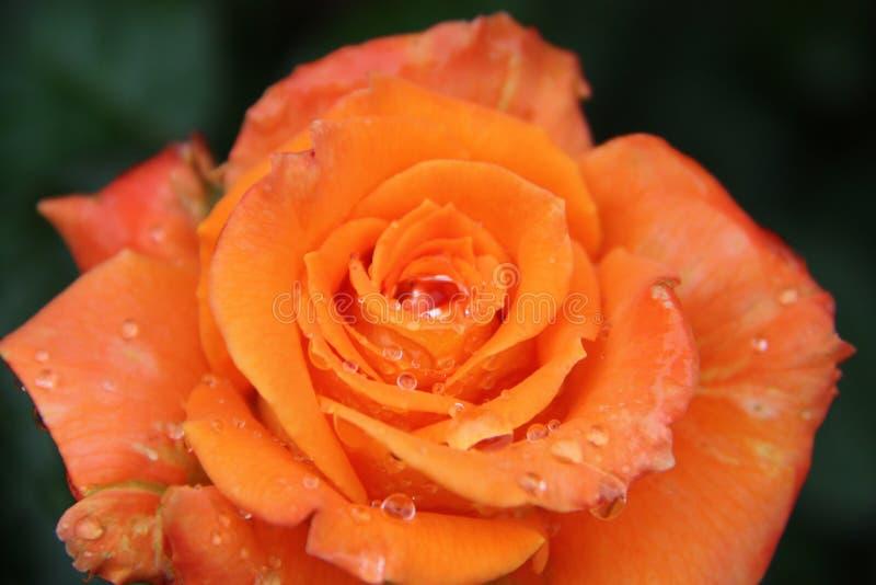 Orange, Rose, Garden Roses, Flower stock photo
