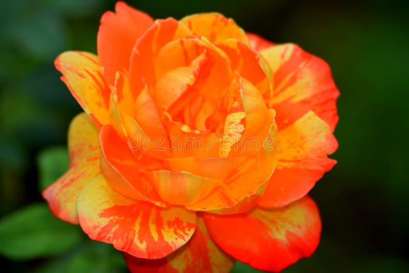 Orange rose. Highlighting the color orange royalty free stock image