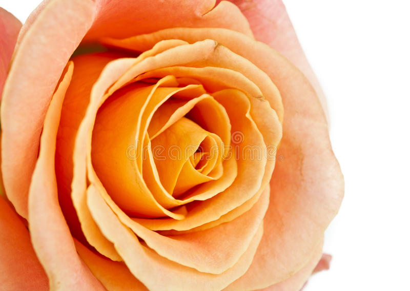 Download Orange rose isolated stock image. Image of anniversary - 26090035
