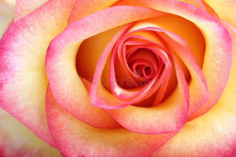 Orange rose. Macro royalty free stock photo