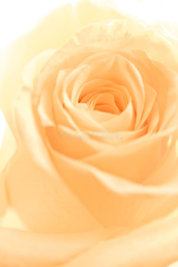 Orange rose petals. A close-up of orange rose petals royalty free stock photos