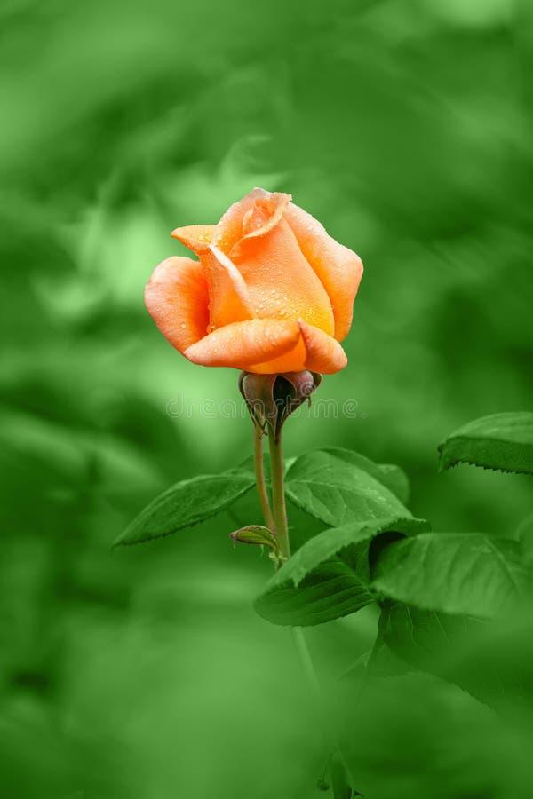 Orange Rose On Rain Stock Images