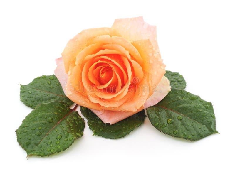 Orange rose after a rain. stock photos