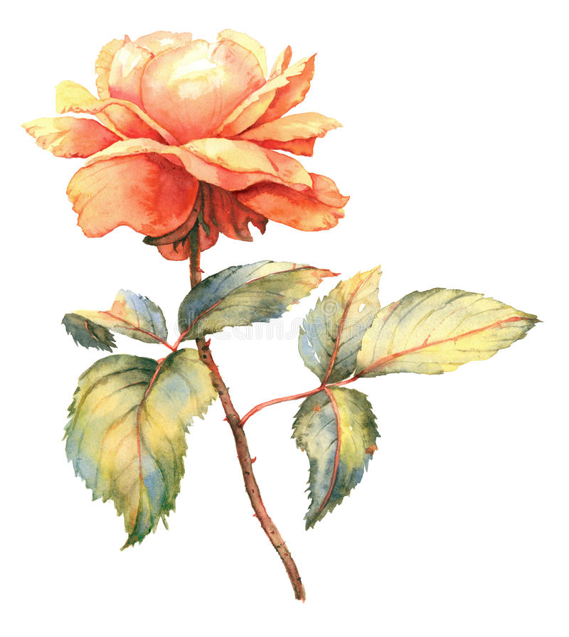 Free Orange Rose Watercolor Illustration Royalty Free Stock Photos - 69658438