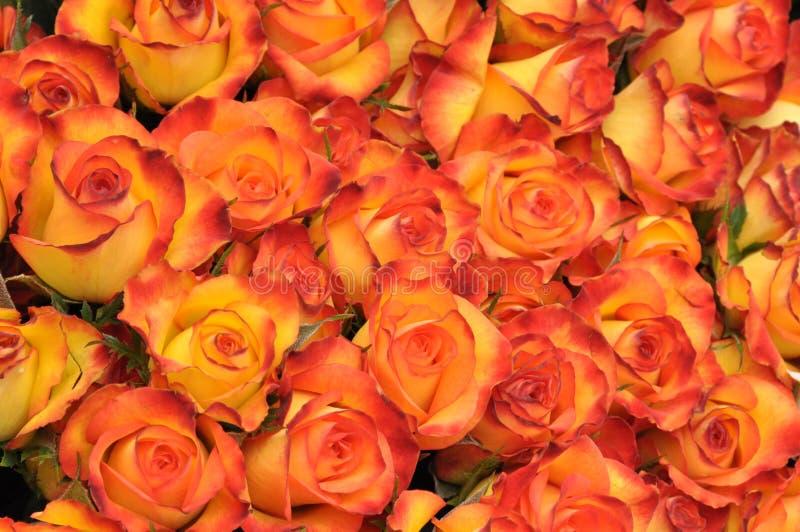Download Orange roses stock image. Image of romance, gypsophila - 14230071