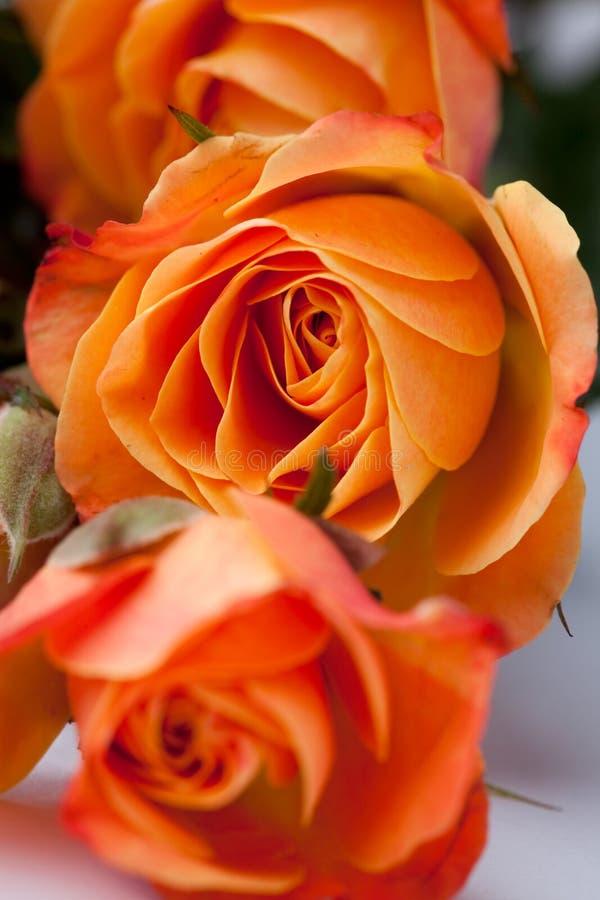 Orange roses royalty free stock images