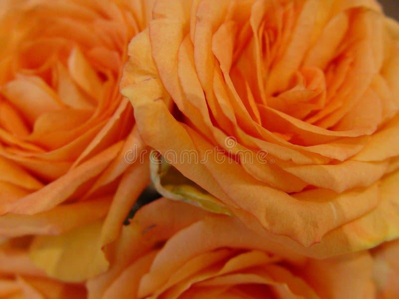 orange roses royalty free stock photo
