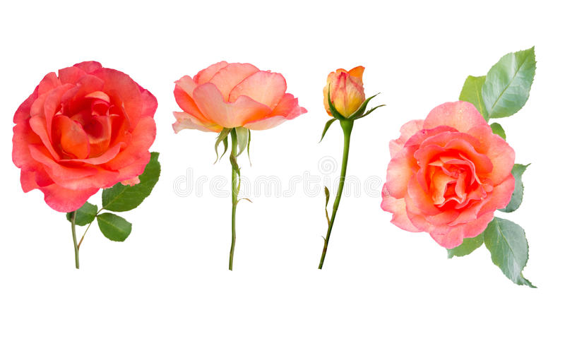 Orange roses, buds and leaves vector illustration