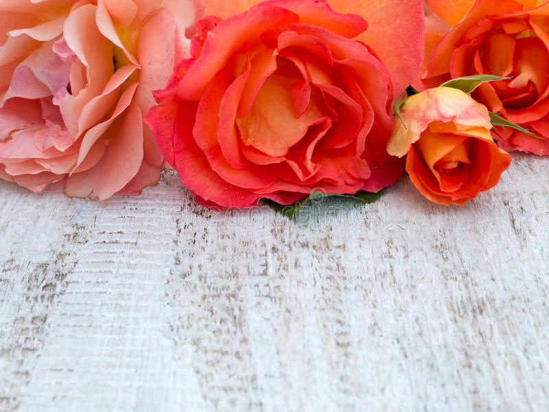 Orange roses on the white painted background stock photography