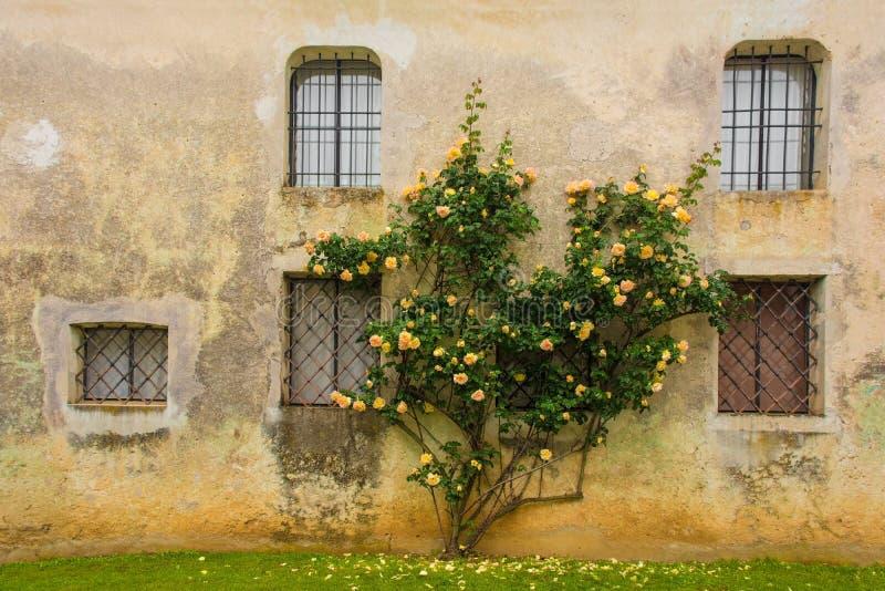 Orange rosor mot den historiska v?ggen arkivbild