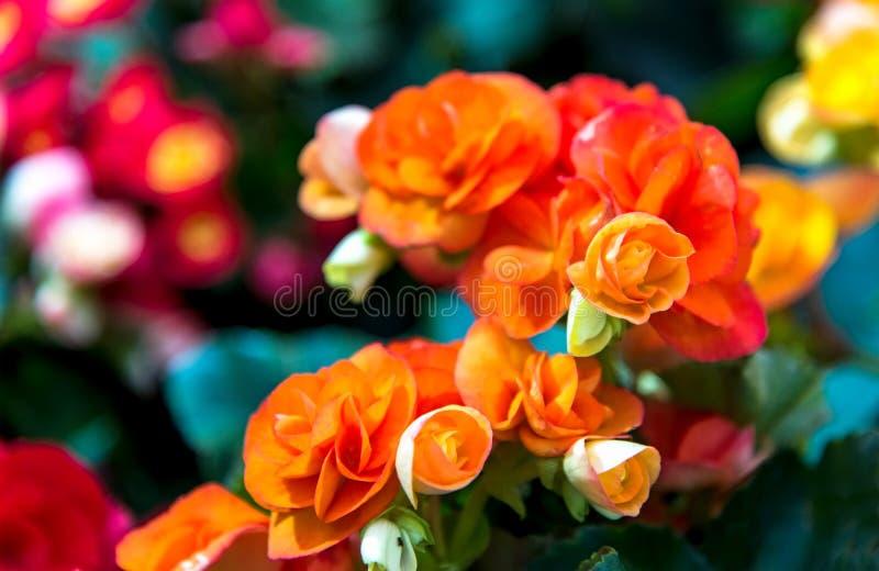Orange rosor på ny grön bladbakgrund och suddighet royaltyfri bild