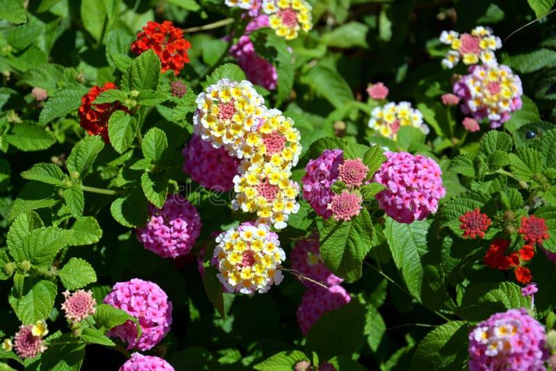 Orange, Rot, Gelb, Weiße Blumen Des Rosas, Hintergrund Stockfoto ...