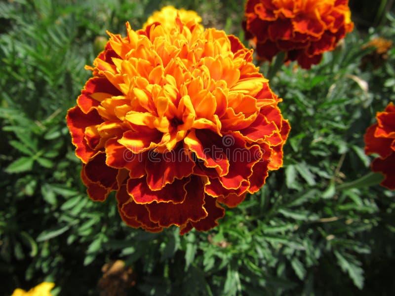 Orange rote Sonne der Ringelblume morgens stockfotografie