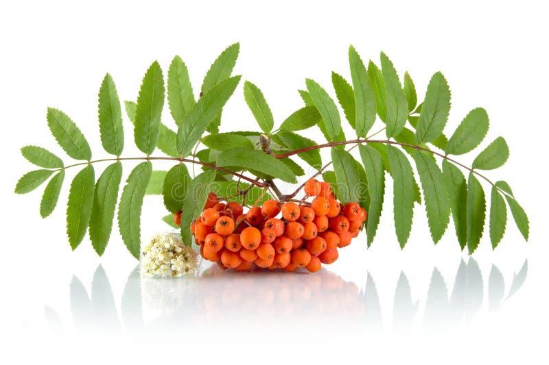 Orange rowanberry with flower isolated on white background. Orange rowanberry with blossom and green leaves isolated on white background stock photo