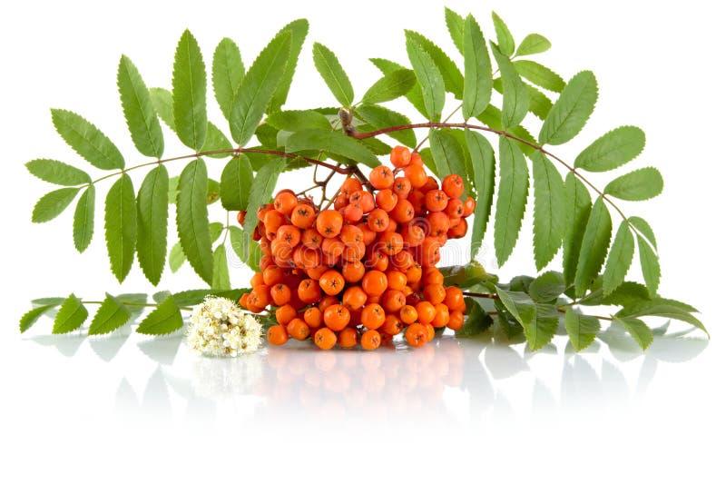 Orange rowanberry with flower isolated on white background. Orange rowanberry with blossom and green leaves isolated on white background stock images