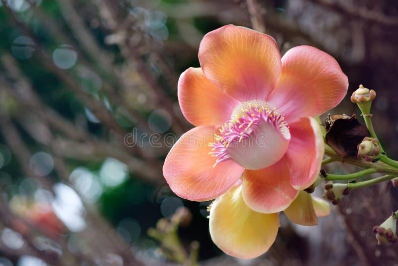 Orange Sala blomma på Cannonballträd arkivbild