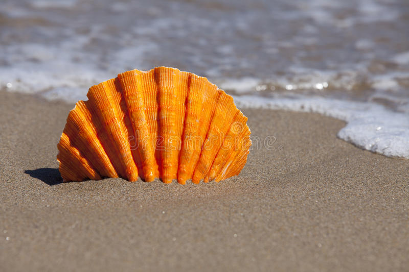 Orange Scallop Shell stuck in Sand Beach. Orange Lion's Paw Scallop Shell stuck in Sand Beach and in the background flows seawater with Copy Space in right part stock images