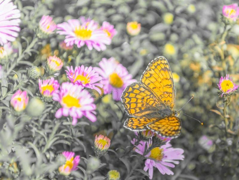 Orange Schmetterling auf purpurroten Blumen lizenzfreie stockfotos