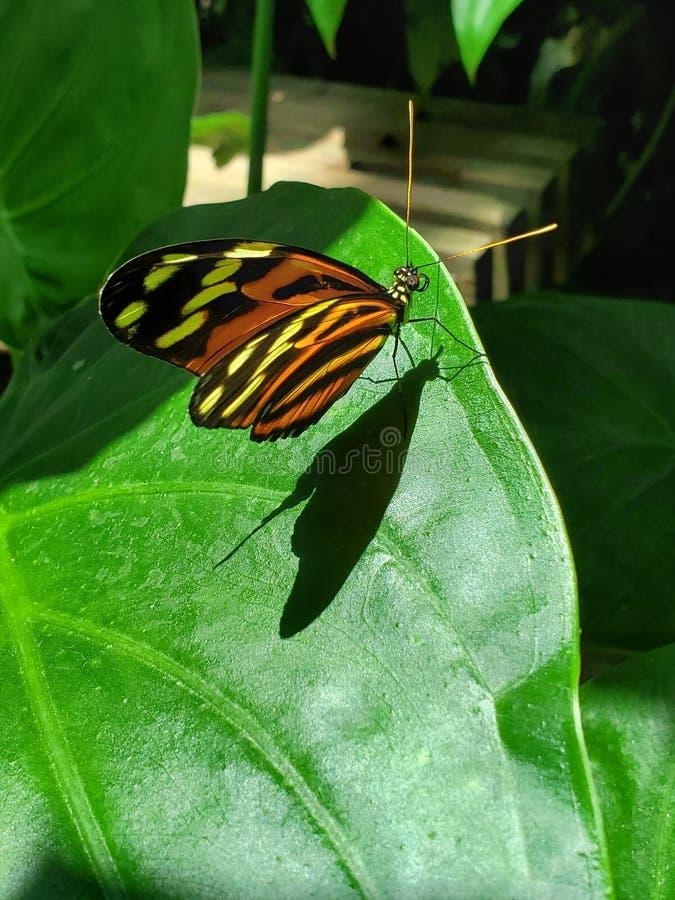 Orange Schmetterling Stripey stockfotografie
