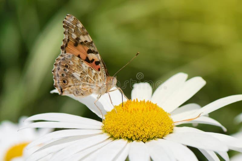 Orange Schmetterling Vanessa Cardui auf weißer Blume lizenzfreie stockbilder
