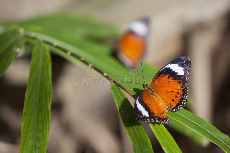Orange Schmetterlinge lizenzfreie stockbilder