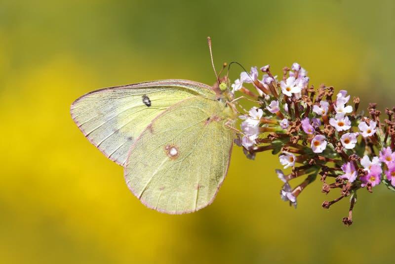 Orange Schwefel-Schmetterling auf Schmetterling Bush stockfotos