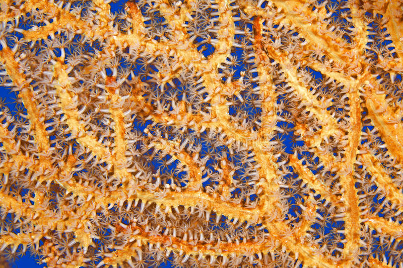 Orange Sea Fan Underwater royalty free stock photo