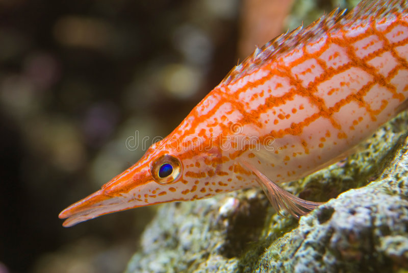 An orange sea fish royalty free stock photos
