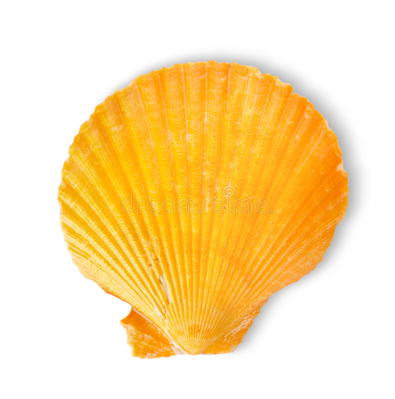 Orange sea shell royalty free stock photos