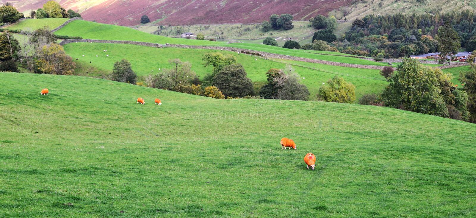 Download Orange Sheep In The Countryside Stock Image - Image: 83715847