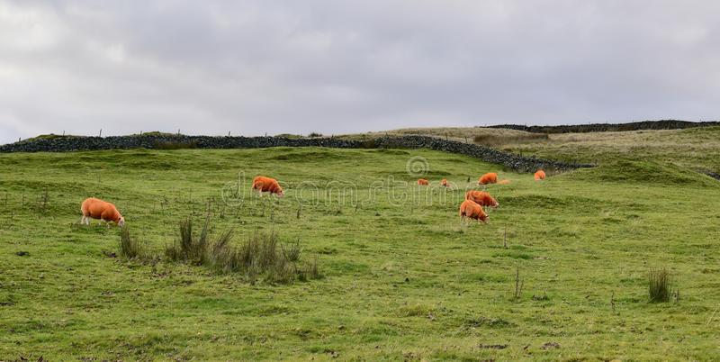 Download Orange Sheep In The Countryside Stock Photo - Image: 83715973