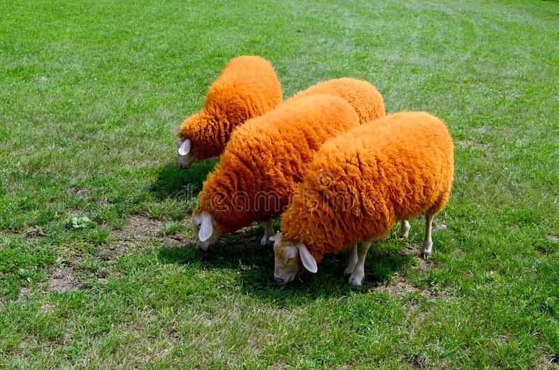Orange sheeps on the green grass stock images