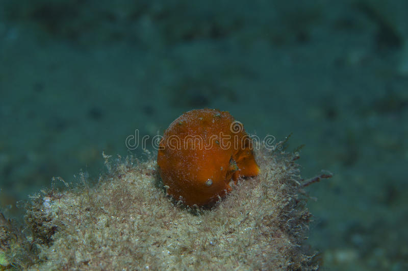 Orange shell. In search of food stock image