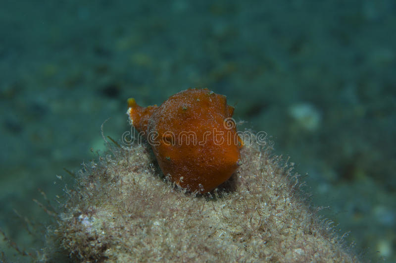 Orange shell. In search of food royalty free stock image