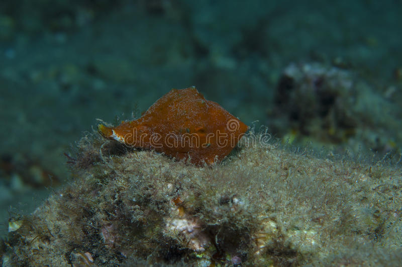 Orange shell. In search of food royalty free stock photography